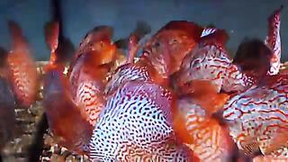 Discus fish Estonia