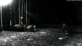 Tartu, Estonia. Wild boars