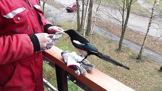 Бесстрашная сорока в Нарве. Bold Eurasian Magpie in Narva