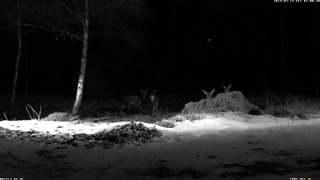 Four Red Deer without antlers ~ Estonia, 19 Mar 2014, 02_00