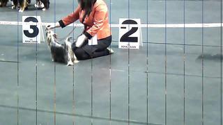 12.04.2014 CACIB _Tallinn Winner 2014_ Yorkshire Terrier. Judge_ Andrew Brace(UK)