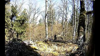 Bociany czarne, Estonia, 22 04 2014 Powrót Tiita marnotrawnego