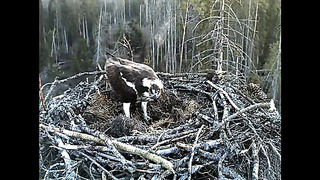 Kalakotkas 2 - Osprey nest, Estonia 22nd April 2014 5.56 Ilmar delivers big fish for the new female