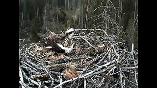 Kalakotkas 2 - Osprey nest, Estonia 7th May 2014 18.14 Ilmar delivers fish to Irma