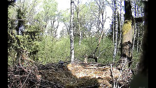 Black Stork Nest ~ Female Bullfinch's visit. Estonia, 20 May 2014, 12_33