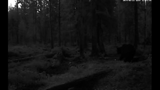Alutaguse, Estonia. Two bears!!! (part 2)
