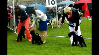 INTERNATIONAL DOG SHOW in Tallinn,miniature shnauzers black males,intermediate class