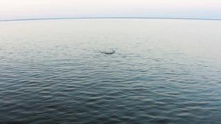 Pärnu lahe trolling ! Gunn kohapoegi Rapala DeepRanneriga meelitamas