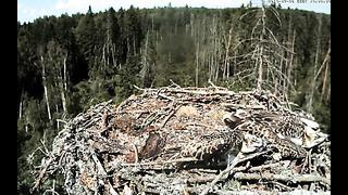 Intruder Alert - Estonia Osprey cam 2 (Irma & Ilmar) 26.7.2014